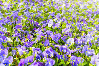 Field on violet flowers