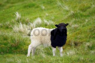 Das schwarzweiss-Schaf
