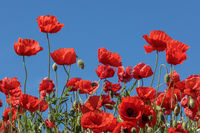 Mohnblumen in Mohnfeld mit blauem Himmel
