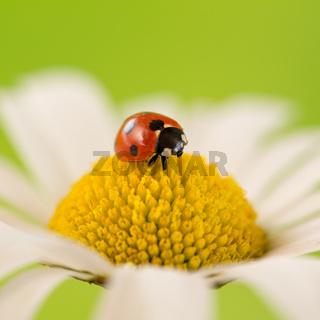 Marienkäfer auf einer Blume im Sommer