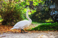 Swan Walking in a Park