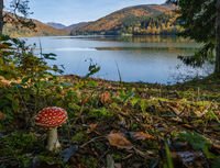 Amanita mushroom on forest meadow on shore of picturesque lake. Vilshany water reservoir on the Tereblya river, Transcarpathia, Ukraine. Beautiful autumn day in Carpathian Mountains.