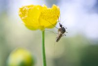 Mosquito on Buttercup (Ranunculus acris)