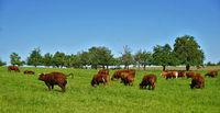 Grazing cattle, herd of cows,