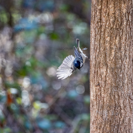 Coal Tit clinging to a tree