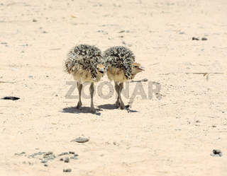 Two african ostrich chick