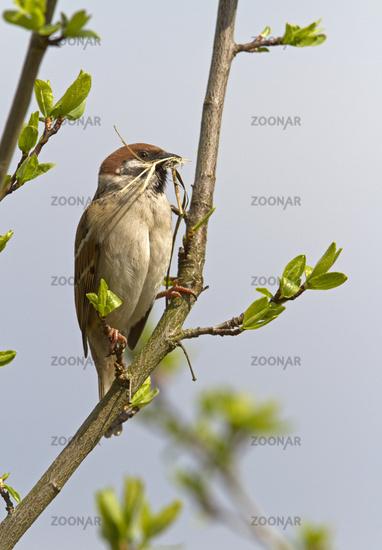 Eurasian Tree Sparrow / Passer montanus