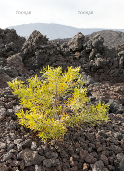 Young tree in stream of lava