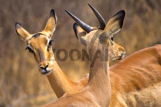 Impala, Khama Rhino Sanctuary, Botswana