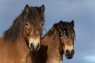 Two heads of wild Exmoor ponies, against a blue sky in nature reserve in Fochteloo, the Netherlands. Selective focus