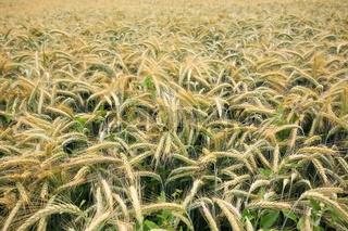 Gerstenfeld im Sommer vor der Ernte