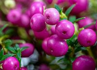 Pink Pernettya mucronata berries
