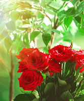 Bouquet of red roses as floral holiday gift, beautiful fresh garden flowers as home decor