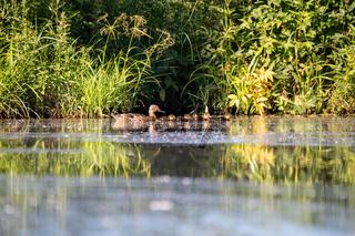 duck mallard on pond, Czech Republic, Europe wildlife