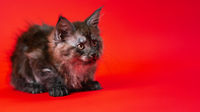 Lovely female pussycat Maine Cat of color black smoke two months old sitting on red background.