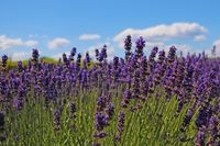 Bright, fragrant lavender fields bloom on a sunny day.