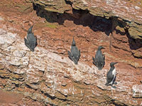 Guillemots at the Guillemot Rock of the High Seas Island Helgoland, Schleswig-Holstein, Germany