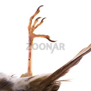 Dead song thrush