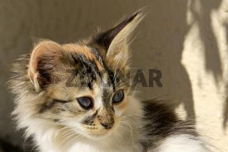 griechisches Kätzchen