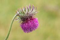 Blütenkopf der Nickenden Distel
