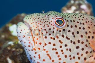 Gestreifter Korallenwaechter