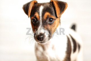 Two months old Jack Russell terrier puppy, studio shot with white background, detail on her head.