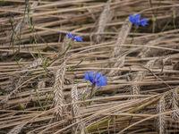 Kornblumen-Getreidehalme