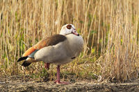 Egyptian Goose Swimming at the Peninsula Nordstrand, Germany, Europe