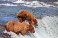 Bear in Alaska