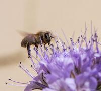 Flying Honeybee on a phacelia flower blossom