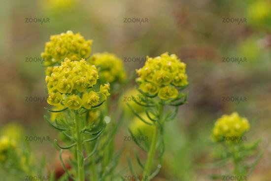 Cypress spruge (Euphorbia cyparissias)