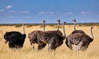 ostriches, Etosha, Namibia