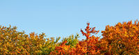 Vibrant coloured leaves on autumn treetop , clear blue sky (space for text) above. Wide banner / fall background.