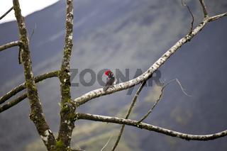 Linienspecht (Dryocopus lineatus)
