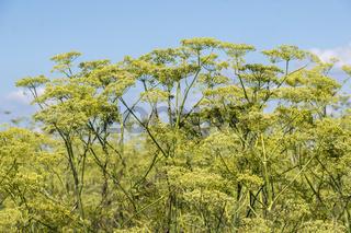 Fenchel (Foeniculum vulgare)