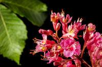 Aesculus × carnea flesh red horse chestnut blossom