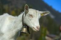 Unhorned Saanen goat with bell, Saanen, Obersimmental-Saanen, Canton of Bern, Switzerland