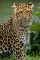 Northern Chinese leopard (Panthera pardus japonensis)