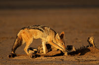 Black-backed jackals (Canis mesomelas) scavenging the remains of an antelope