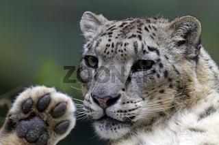 Porträt eines Schneeleopards / Uncia uncia