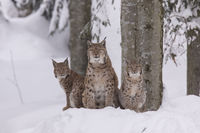 Luchs, Lynx lynx, Eurasian lynx