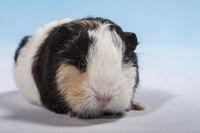 Swiss Teddy guinea pig