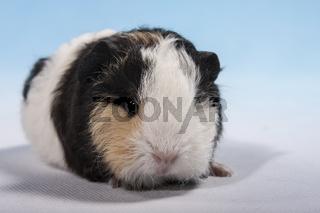 Schweizer Teddy Meerschweinchen Baby