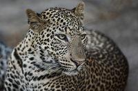Portrait of a leopard, Zambia