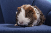 guinea pig sitting in a blue chair