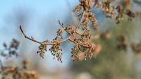 Flowering of a fluttering elm (Ulmus laevis) in Herrenkrugpark near Magdeburg in springtime
