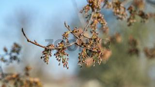 Blüte einer Flatterulme (Ulmus laevis)