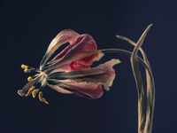 Withered purple tulip on a dark background, Past beauty