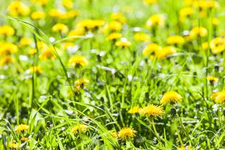 Dandelion flowers in bloom