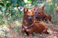 The Dholes, Cuon alpinus, Indian Wild dogs, Nagzira wildlife sanctuary , Maharashtra, India